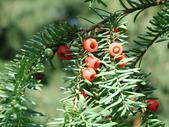 Taxus baccata fruits
